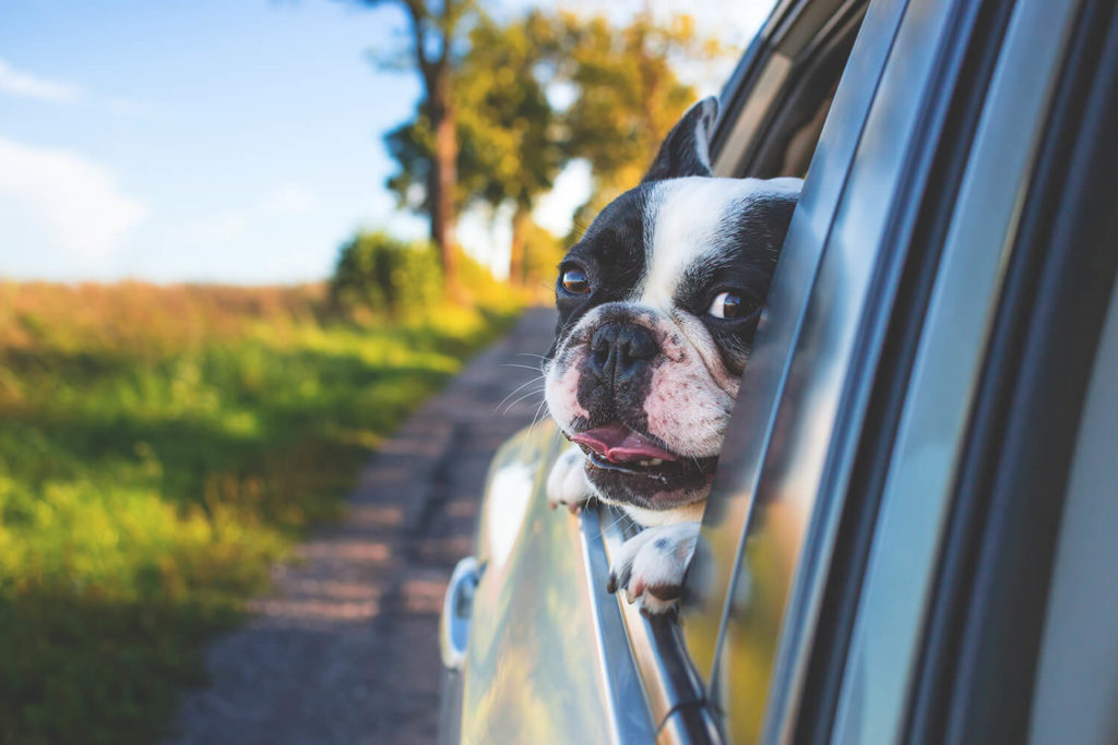 A dog or lovable pet that is not secure in the back seat is prone to get hurt in a car accident.